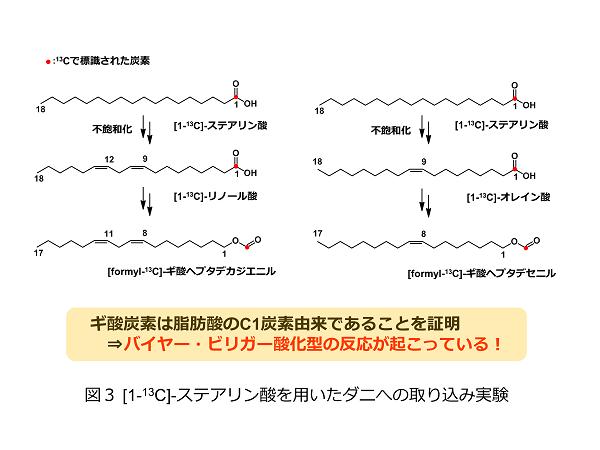 図3 [1-13C]-ステアリン酸を用いたダニへの取り込み実験1