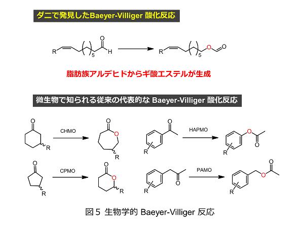 図5 生物学的 Baeyer-Villiger 反応1