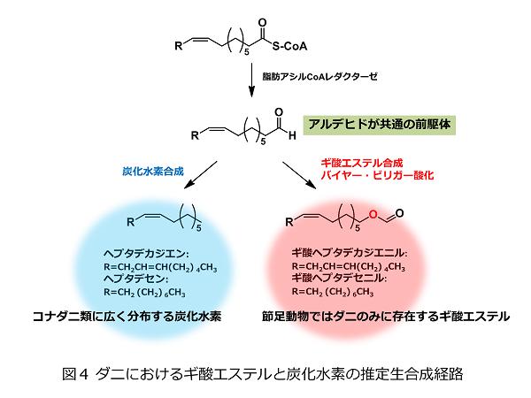 図4 ダニにおけるギ酸エステルと炭化水素の推定生合成経路1