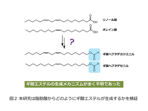 図2 本研究は脂肪酸からどのようにギ酸エステルが生成するかを検証1